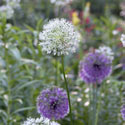 Alliums Ernest TURC