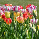 tulipes Ernest TURC