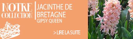 Jacinthe de bretagne