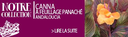 Canna à feuillage panaché Andaloucia - Ernest TURC