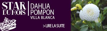 Dahlia pompon blanc Villa Blanca - Ernest TURC